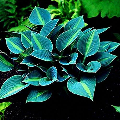 EgBert 150Pcs/Pack Hosta Blumensalzen Garten Perennials Zierpflanzen Lily Shade Hosta Pflanzen Samen - Grün