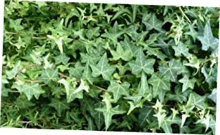 DAG 1 Bare Root Starter Plant Hedera Helix 'Baltic Thorndale English Ivy - RK1110