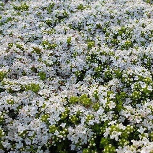6 x Thymus Praecox 'Albiflorus' - Frühblühender Thymian Albiflorus Kleincontainer 9cm x 9cm