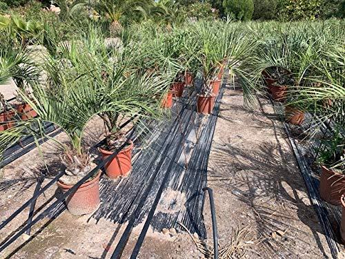 Gewöhnliche Geleepalme 100-120 cm - Butia capitata - Palme