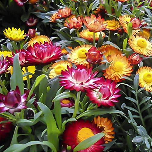 XINDUO Bunte Blumen,Gartenlandschaft Weizenstiel Chrysanthemenblumensamen-0,5 kg,winterhart Blumensamen