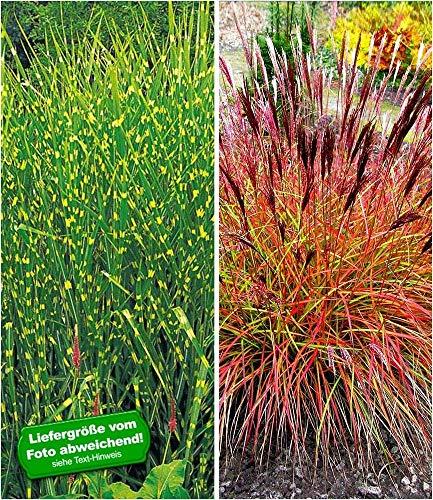 BALDUR-Garten Pflegeleichte Ziergras-Kollektion, 2 Pflanzen 1 Pflanze Zebra-Gras und 1 Pflanze Chinaschilf 'Red Chief'