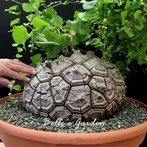 3seltene Geninue Dioscorea ELEPHANTIPES Samen Caudex Sukkulente seltene Blume Samen schönen Blumen Ornament Bonsai Pflanze