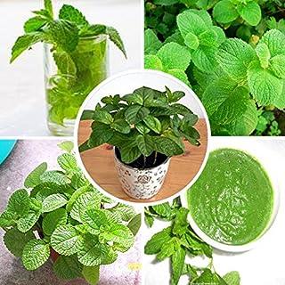 100pcs / bag exóticas Semillas de menta verde menta comestible hierba gatera menta planta de la flor en maceta de Bonsai Huerta de envío Planta gratuito