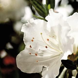 Encore Azalea Encore 1 Gallon Autumn Angel, White Re-Blooming Evergreen Shrub