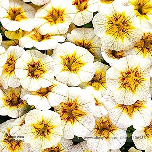 Pinkdose® 2018 Heißer Verkauf Seltene Superbells Frostfire Calibrachoa Petunia Einjährige Blumensamen, professionelle Pack, 100 Samen/Pack, große Blühende Blume