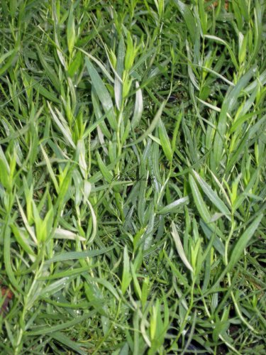 Staudenkulturen Wauschkuhn Artemisia dracunculus - französischer Estragon - Staude im 11cm Topf