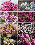 8 Plant Pack Winter Heather Variety Low Growing Ground Cover Flowering Garden Shrub
