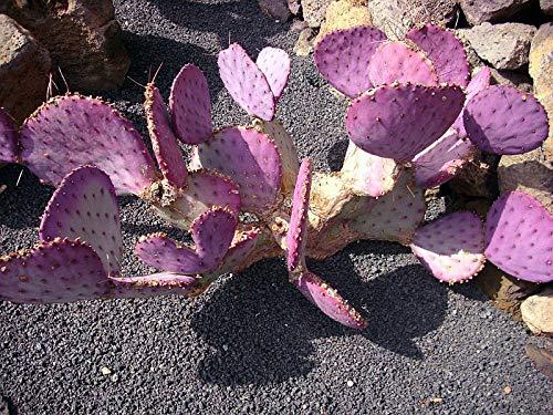 Opuntia Macrocentra Cactus Seeds