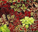 40 Solenostemon Scutellarioides Coleus Fairway Mix Flowering Plant Seeds for Planting ' My' #RR10