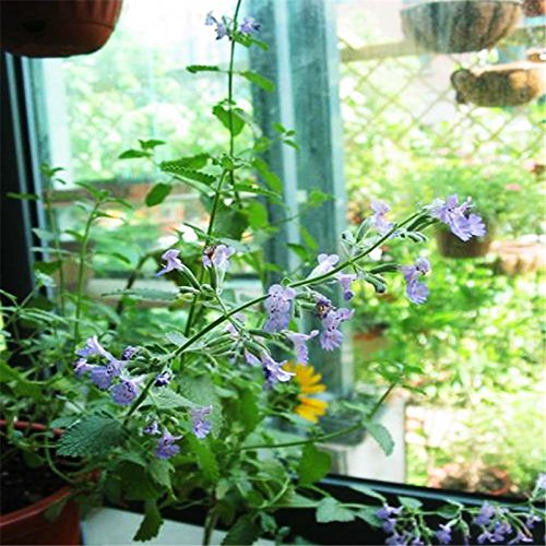 Mint Seed 20 Seeds Of Fragrance Chaque Pack Graines Mentha arvensis Aromatique Herb plantes