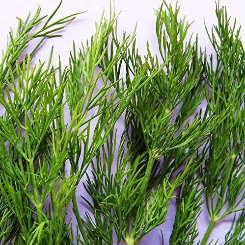 Portal Cool Dill - Dukat - 800 Samen [.Outstanding Blatt Produktion + Herbst Seed Crop!]