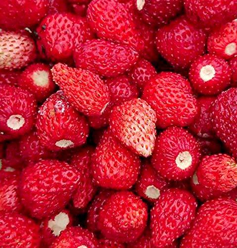 Monatserdbeere Red Wonder - Wald-Erdbeere - 100 Samen