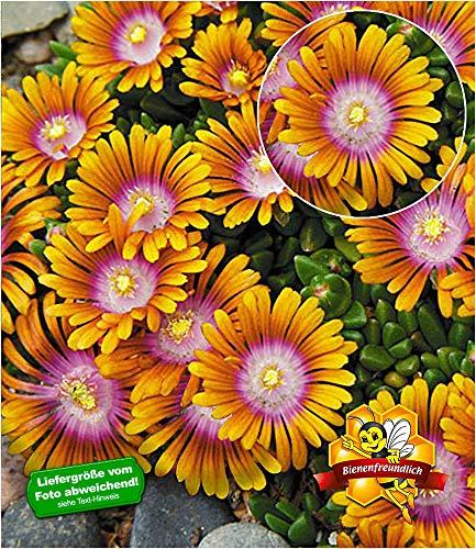 BALDUR-Garten Bodendecker Delosperma 'Fire Spinner®' Eisblumen, 3 Pflanzen winterhart Steingarten