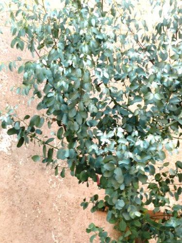 20 SILVER DROP EUCALYPTUS Gunnii Cider Gum Florist Tree SeedsComb S/H