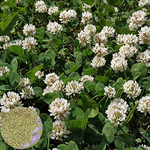 Zaden voor het planten,100st Witte Hollandse Klaver Zaden Tuin Balkon Bonsai Bloemplant Woondecoratie – Dutch Clover…