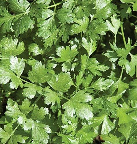 GETSO 25 - Semi: Semi a Cilantro organici - Cilantro è fortemente aromatico !!!!