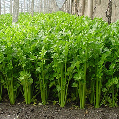 Semi di sedano Premium Semi di ortaggi biologici (100 Pz Pacco), Alto Tasso di germinazione, Non OGM Verdure Semi per Giardino Domestico Giardino Esterno Piantagione Interna