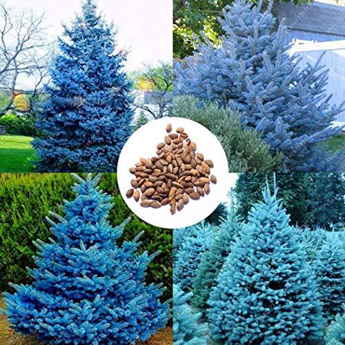 Ultrey Samenshop - 100 Stück Colorado blauen Tanne Samen Pflanzen Blaufichte Samen Picea Baum Topfpflanzen Bonsai Innenhof Garten Kiefer Baum Pflanzensamen
