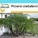 SAFLAX - Set regalo - Palmera datilera enana - 25 semillas - Con caja regalo/envío, etiqueta para envío, tarjeta de felicitación y sustrato de cultivo y fertilizante - Phoenix roebelenii