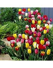 "30x Tulipa""60 Days of Tulips"" | 30er Mix gemischte Tulpen Zwiebeln | Tulpenzwiebeln Winterhart Mehrjährig"