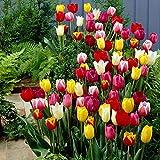 30x Tulipa'60 Days of Tulips' | 30er Mix gemischte Tulpen Zwiebeln | Tulpenzwiebeln Winterhart Mehrjährig