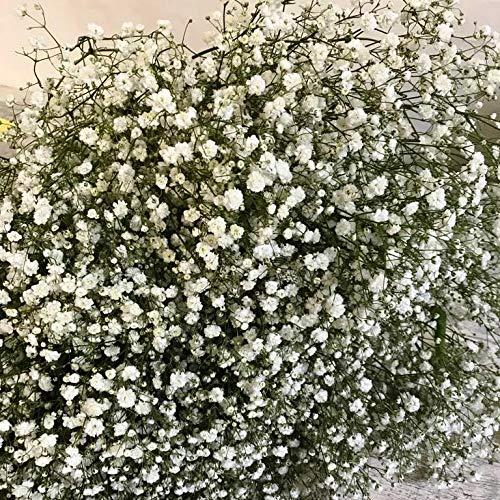 Ramo Gypsophilla Paniculata Natural 25 tallos PORTES GRATIS