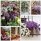Petunia Seeds80000 + Pcs 'Color-Themed Collection' (Rainbow Colors) Semi di fiori perenni, fiori per tutta l'estate, semi di fiori appesi ideali per vaso