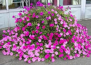 Old Fashioned Petunia Mix 100+ Seeds Vining White, Red, Pink, Blue Shades