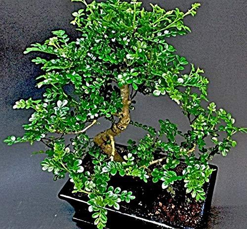 10 Zanthoxylum piperitum Samen, Szechuanpfeffer, Chin.Pfeffer, winterhart -20°C.