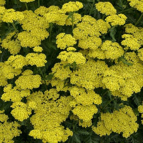 Derlam Samenhaus-50 Pcs Goldgarbe Schnittblume Trockenblume mehrjährig Gelb Blumen mehrjährig winterhart für Balkon Garten