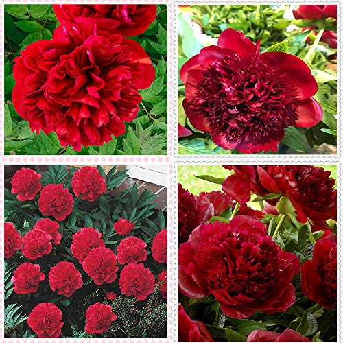 Peonías bulbo,La peonía roja del pequeño experto en salud florece en primavera para purificar el aire y el bonsái verde de la carretera-1bulbos
