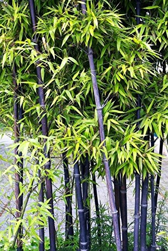 D'énormes 80 graines/paquet pubescens géant Phyllostachys Moso graines de bambou rustiques -Giant 4