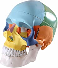 Human 1:1 Size Skull with Colored Bone Joint Simulation Model Medical Anatomy Type:YR-H-XC-104C
