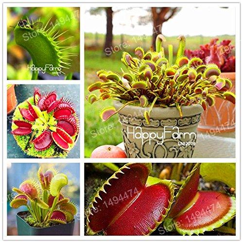 100 Pcs Flytrap graines de Dionaea géant clip Graines Dionée Plante carnivore plante Graines jeunes arbres Dionaea graines