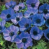 famiglia: Ranunculaceae origine: orticola altezza: 25-30 cm esposizione: sole 1/2 ombra fioritura: primaverile precoce intermedia
