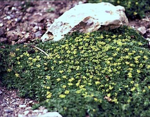 Staudenkulturen Wauschkuhn Azorella trifurcata 'Nana' - Andenpolster - Staude im 9cm Topf