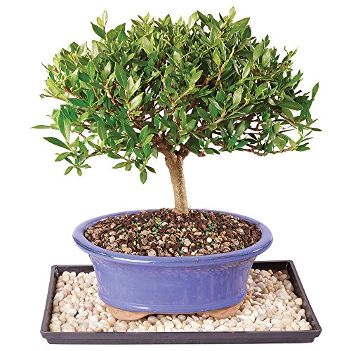 Brussel's Live Gardenia Outdoor Bonsai Tree - 7 Years Old; 8' to 10' Tall with Decorative Container, Humidity Tray & Deco Rock