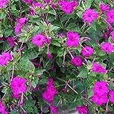 Charm4you Jardín Ornamental balcón,Jazmín al Aire Libre balcón jardín Floral semilla-púrpura_250g,Perennes Resistentes para balcón