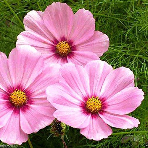1000 Cosmos « Gloria » Rose W/violet yeux - abeilles, les papillons et graines pour oiseaux