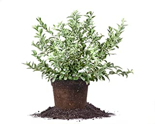 Best becky blue blueberry plant Reviews