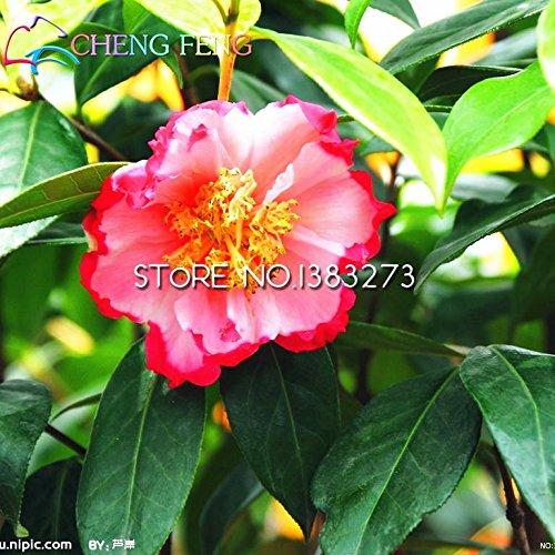20pcs Oleander Colorful New Seeds Belles graines de fleurs L'usine bourgeonnant Taux 95% Garden pour le cadeau Enfants Plante très facile