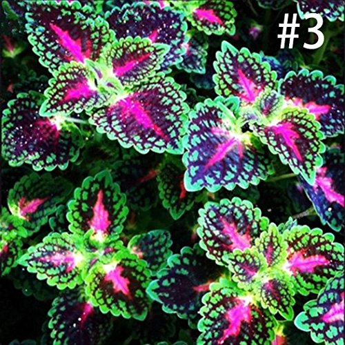 Beautytalk-Garten 100pcs Buntes Blattgras Coleus Pflanzen Samen winterhart mehrjährig Bonsai Blume Blatt Pflanzen für Barkon, Garten
