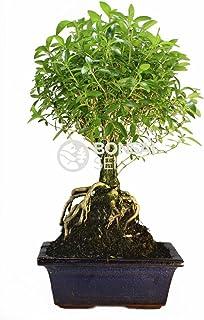Bonsai - Serisa, Arbol de las 1000 estrellas, 5 Años (Bonsai Sei - Serissa Phoetida)