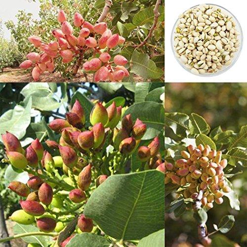 AIMADO Samen-5 pcs Pistazie Saatgut Pistazienbaum mehrjährig winterhart Bio exotische Gehölz für Garten