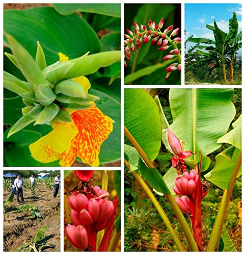 Rouge: 100 / Sac banane Graines Graines rares fruits Hainan Big Banana rose Graines Musa velutina - Graines naines Rose Banana