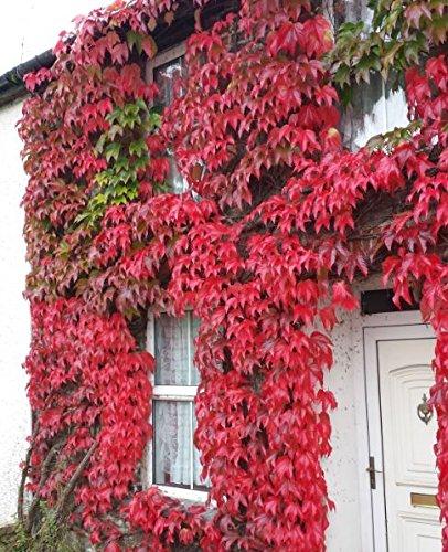 Kletterpflanze Wilder Wein Jungfernrebe - Selbstklimmer - Rote Herbstfärbung- Parthenocissus tricuspidata Veitchii - 60-70cm Topf 2 Ltr.