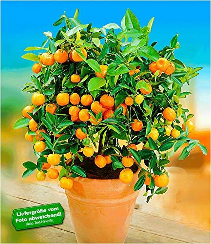 BALDUR Garten Orangen-Bäumchen,1 Pflanze Citrus microcarpa Calamondin Zitruspflanze