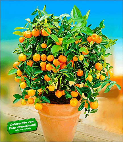 BALDUR-Garten Orangen-Bäumchen,1 Pflanze Citrus microcarpa