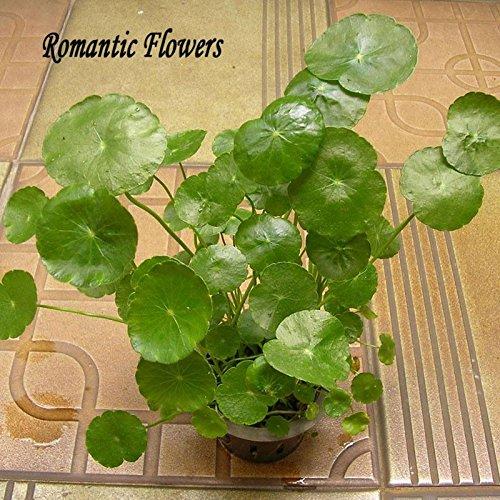 100 plantes particules / eau sac Graines Raw Culture Horseshoe Gold Coins Graminées Four Seasons germent facilement en pot